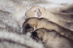 Husky siberiano recién nacido de los perritos Fotos de archivo