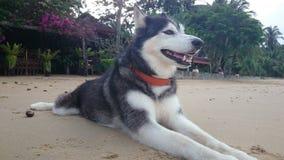 Husky siberiano sulla spiaggia Immagine Stock Libera da Diritti