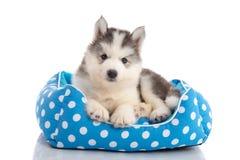 Husky siberiano sveglio che si trova sul letto dell'animale domestico immagine stock