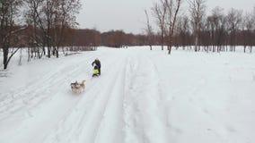 Husky siberiano in un gruppo del cane Correndo nella guida della foresta in slitta con un gruppo del cane del husky siberiano video d archivio
