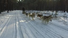 Husky siberiano in un gruppo del cane Correndo nella guida della foresta in slitta con un gruppo del cane del husky siberiano stock footage