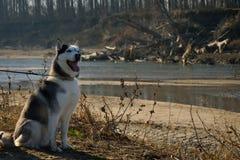 Husky siberiano vicino ad un fiume Fotografia Stock
