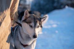 Husky siberiano vicino al suo musher in Jakutsk, Yakutia Il gruppo del cane di slitta sta aspettando le corse fotografia stock libera da diritti