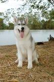 Husky sit Royalty Free Stock Photo