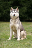 Husky sitting. And waiting stock photo