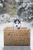 Husky sitting inside basket on forest Royalty Free Stock Image