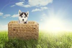 Husky sitting inside basket on meadow Stock Photos