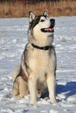 Husky. A husky is sitting in the snow Royalty Free Stock Image