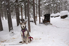 Husky and Sled Royalty Free Stock Image