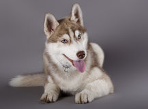 Husky sled dog Stock Images