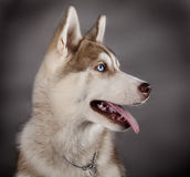 Husky sled dog. Breeds in grey background Royalty Free Stock Photos