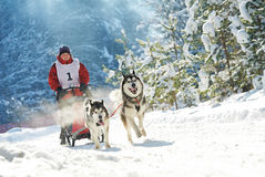 Husky sled dog racing. Sled dog racing. musher dogteam driver and Siberian husky at snow winter competition race in forest Stock Photos