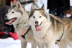 A husky sled dog team at rest Royalty Free Stock Photography