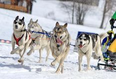 A husky sled dog team at work Stock Photography