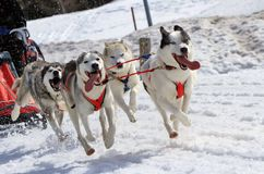 A husky sled dog team at work. A husky sled dog team running fast with tongue outside by winter day Royalty Free Stock Photos