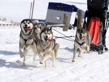 Husky sled dog team at work Royalty Free Stock Images