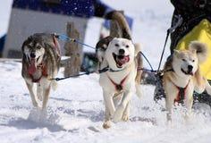 A husky sled dog team at work Stock Photo