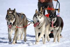 A husky sled dog team at work Royalty Free Stock Image