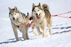 A husky sled dog team at work Royalty Free Stock Images
