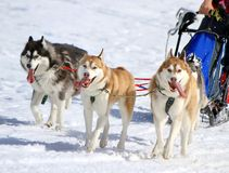 A husky sled dog team at work Stock Photos