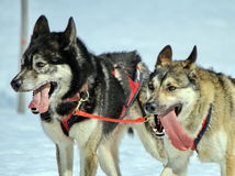 A husky sled dog team at work Stock Images