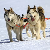 Husky sled dog team at work Royalty Free Stock Image