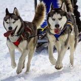 Husky sled dog team at work Royalty Free Stock Photo