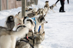 Husky sled-dogs Stock Image