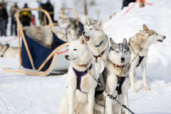 Husky Sled-dogs Royalty Free Stock Photos