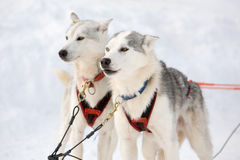 Husky sled-dogs Royalty Free Stock Photography