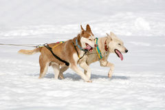 Husky sled dogs Stock Images