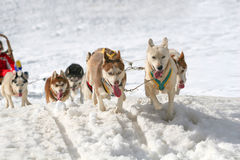 Husky sled dogs Royalty Free Stock Images
