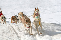 Husky sled dogs Stock Image