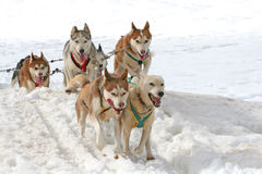 Husky sled dogs Stock Image