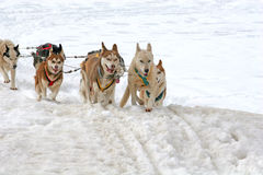 Husky sled dogs Royalty Free Stock Photo