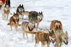 Husky sled dogs Stock Photography