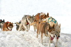 Husky sled dogs Royalty Free Stock Image