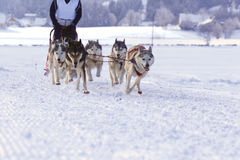 Husky sled dogs. Group of sled dogs running through lonely winter landscape stock photo