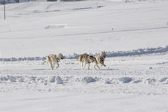 Husky sled dogs. Group of sled dogs running through lonely winter landscape Royalty Free Stock Photo