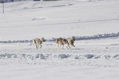 Husky sled dogs Royalty Free Stock Photo