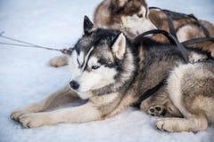 Husky Sled Dogs que descansa en la nieve Imágenes de archivo libres de regalías