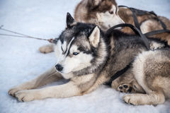 Husky Sled Dogs que descansa na neve Imagens de Stock Royalty Free