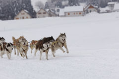 Husky sled dogs running in snow. Group of sled dogs running through lonely winter landscape royalty free stock images