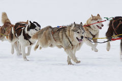 Husky sled dogs running in snow. Group of sled dogs running through lonely winter landscape royalty free stock image