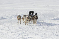 Husky sled dogs running in snow. Group of sled dogs running through lonely winter landscape stock image