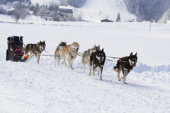 Husky sled dogs running in snow. Group of sled dogs running through lonely winter landscape stock photo
