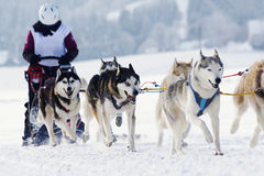 Husky sled dogs running in snow Stock Images