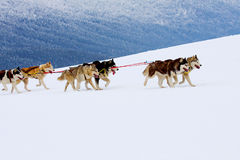 Husky Sled Dogs Running In Snow. Group of sled dogs running through lonely winter landscape stock photos