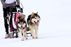 Husky Sled Dogs Running In Snow Royalty Free Stock Image