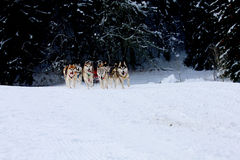 Husky Sled Dogs Running In Snow Stock Photo